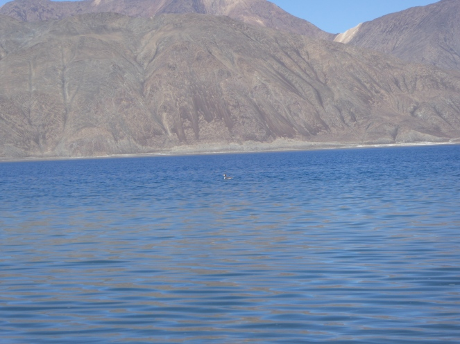It takes a special duck to fish in the Himalaya